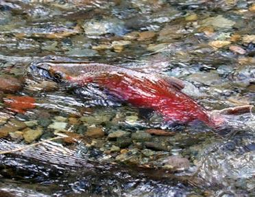 coho-salmon-spawning