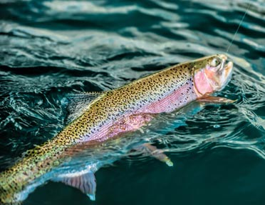 rainbow-trout-being-reeled-in